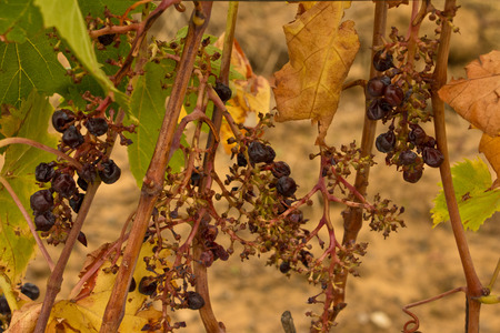 View of a drought vineyard