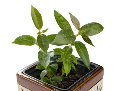 Sadzonki Zielone uprawy w gliniane doniczki Zdjęcie Seryjne - 9279138