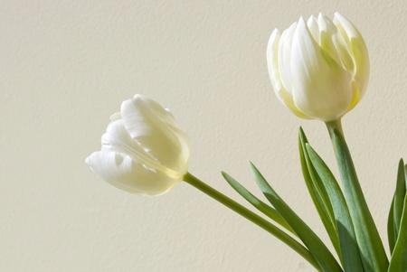 Dwa tulipany białego na tle beżowym