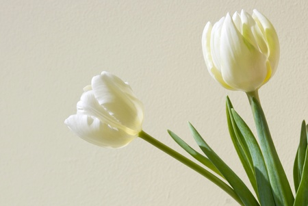Two white tulips on a beige background
