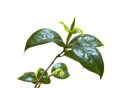 Camelia leafs odizolowane na białym tle. Zdjęcie Seryjne - 9396745