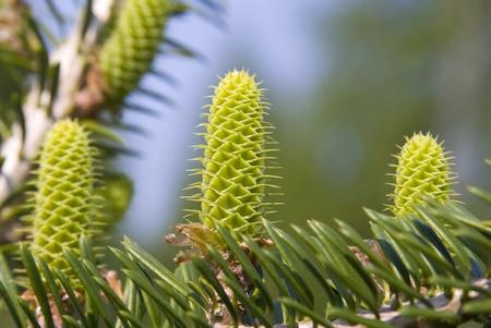 Makro sosny mÅ'odych, zielone szyszek chmielowych na gaÅ'Ä™zi. Zdjęcie Seryjne - 9470298