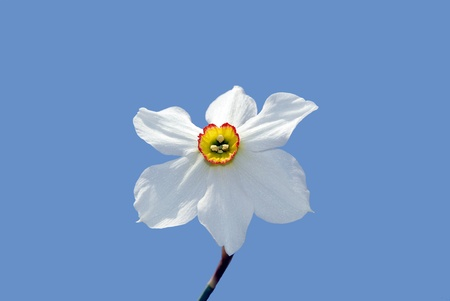 White and yellow daffodil,  blue sky. Symbol of Self-love and Respect. Zdjęcie Seryjne - 9470296