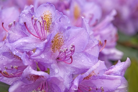 beautiful Rhododendron species flowers soaked with raindrops Stock Photo - 9664935