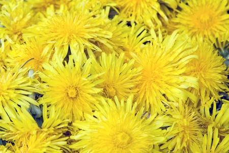 PiÄ™kne Dandelion kwiaty tÅ'em - Bunch Taraxacum officinale kwiatów Zdjęcie Seryjne - 9664931