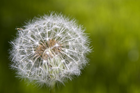 Photo of Alone dandelion on green background