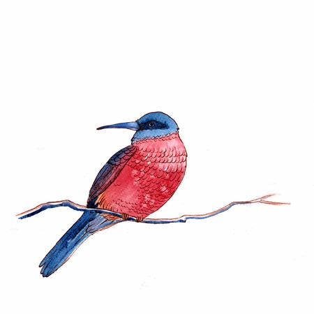 carmine: Acuarela styla ilustraci�n vectorial de Carmine Bee Eater aves en el fondo blanco.