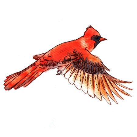 cardinal bird: Cardinal bird watercolor-style vector illustration.