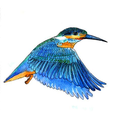 ornithology: Watercolor-style vector illustration of Bird Kingfisher bird on white background.