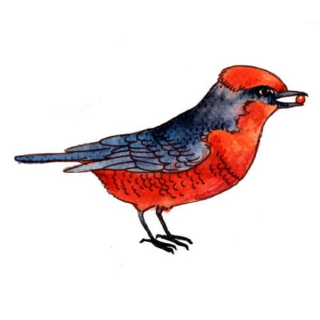 vermilion: Watercolor-style vector illustration of Vermilion Flycatcher bird on white background.