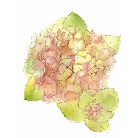 hydrangea: Watercolor style vector illustration of Hydrangea