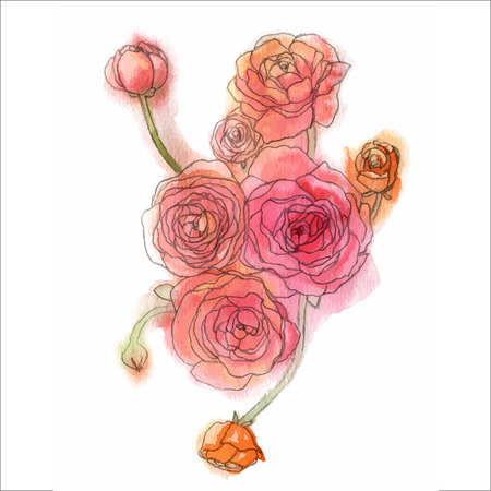 Watercolor style vector illustration of Ranunculus  Illustration