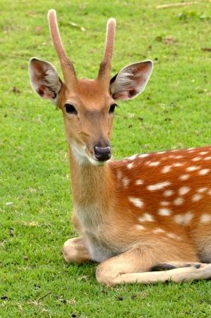 young deer sleep on green lawn