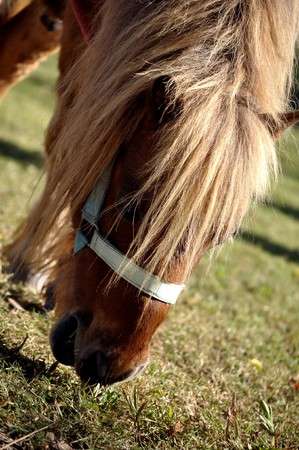 A pony is a small horse with a specific conformation and temperament. photo