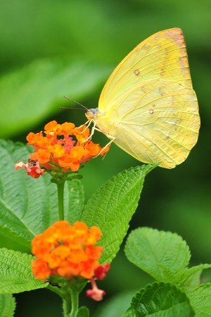 Butterflies feed primarily on nectar from flowers.