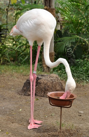 Flamingo often stand on one leg, the other tucked beneath the body. photo