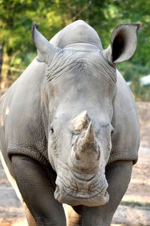 The White or Square-lipped Rhinoceros is the third most massive remaining land animal in the world, after the Elephant and the hippopotamus