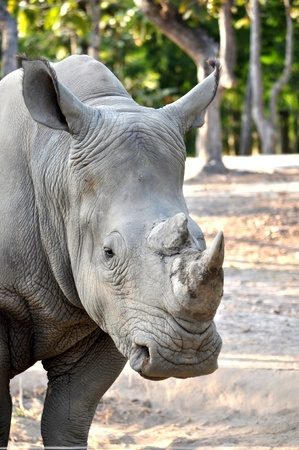 The White or Square-lipped Rhinoceros is the third most massive remaining land animal in the world, after the Elephant and the hippopotamus. Stock Photo