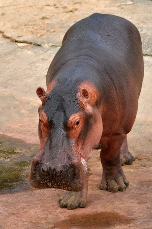 The hippopotamus is semi-aquatic, inhabiting rivers and lakes where territorial bulls preside over a stretch of river and groups of 5 to 30 females and young. Stock Photo
