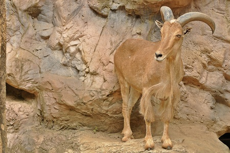 Sandy-brown color Barbary Sheep  photo