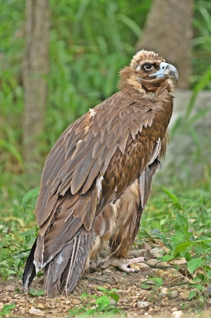 The Cinereous Vulture is believed to be the largest bird of prey in the world  The Himalayan Griffon Vulture is slightly longer overall but is believed to be marginally surpassed in weight and wingspan by the Cinereous   photo