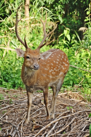 The Sika deer is one of the few deer species that does not lose its spots upon reaching maturity  Spot patterns vary with region  photo