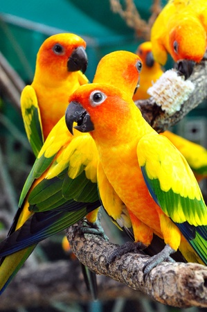animals in the wild: Sun Conure has a rich yellow crown, nape, mantle, lesser wing-coverts, tips of the greater wing-coverts, chest, and underwing-coverts.  Stock Photo