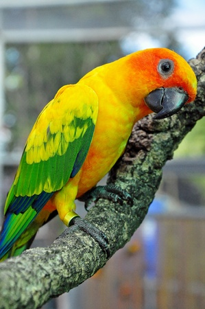 Sun Conure has a rich yellow crown, nape, mantle, lesser wing-coverts, tips of the greater wing-coverts, chest, and underwing-coverts.  Stock Photo