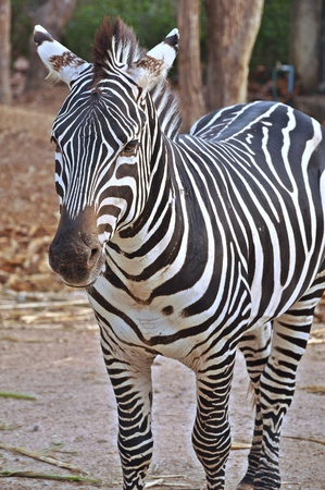 evolved: Zebras evolved Among the Old World horses within the last 4 million years.