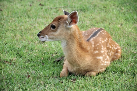 The Sika deer is one of the few deer species that does not lose its spots upon reaching maturity. Spot patterns vary with region. photo
