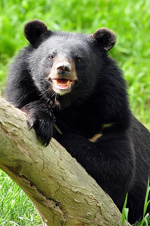 Asian black bears are close relatives to American black bears Stock Photo