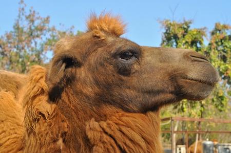 an ungulate: Il cammello battriano � un grande artiodattili ungulati nativo alle steppe dell'Asia centrale. Archivio Fotografico