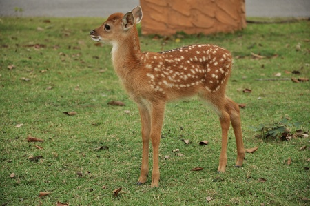 deer  spot: The Sika deer is one of the few deer species that does not lose its spots upon reaching maturity. Spot patterns vary with region.