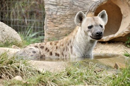 scavenge: The spotted hyena also known as laughing hyena, is a carnivorous mammal.