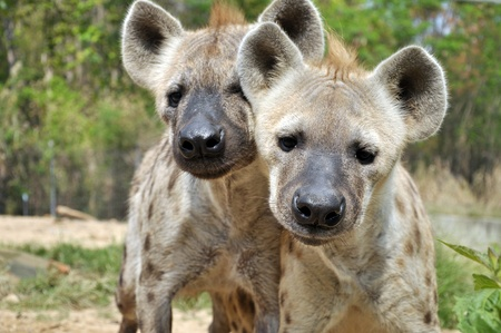 The spotted hyena also known as laughing hyena, is a carnivorous mammal. Stock Photo - 10286153