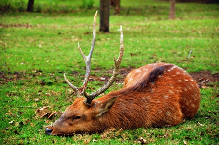The sika deer inhabits temperate and subtropical woodlands, which often occupy areas suitable for farming and other human exploitation.