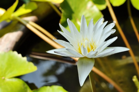 subcontinent: This aquatic plant is native to the Indian Subcontinent area.