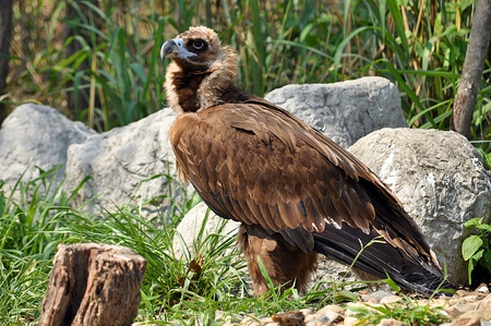believed: The Cinereous Vulture is believed to be the largest bird of prey in the world.