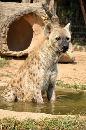 The spotted hyena also known as laughing hyena, is a carnivorous mammal. photo