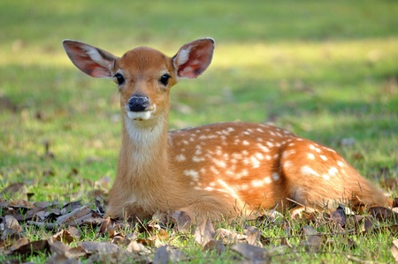 The Sika deer is one of the few deer species that does not lose its spots upon reaching maturity. Stockfoto