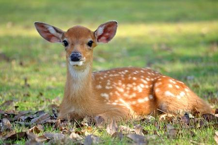 Le cerf Sika est un des rares espèces de cerfs qui ne perd pas ses points après avoir atteint la maturité.