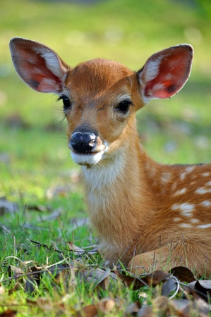 The Sika deer is one of the few deer species that does not lose its spots upon reaching maturity. 写真素材