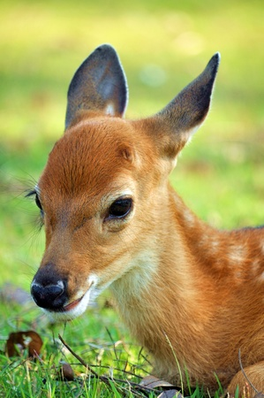 The Sika deer is one of the few deer species that does not lose its spots upon reaching maturity. photo