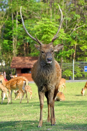 asia deer: The Sika Deer, Cervus nippon, also known as the Spotted Deer or the Japanese Deer, is a species of deer native to much of East Asia and introduced to various other parts of the world.