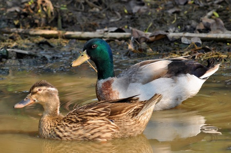 The male birds have a bright green or blue head, while the females is light brown. photo