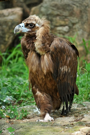 beak vulture: The Cinereous Vulture is believed to be the largest bird of prey in the world.