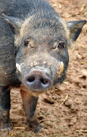 The body of the wild boar is compact; the head is large, the legs relatively short. photo