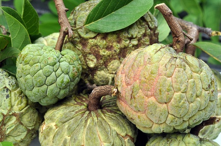source of iron: Sugar-apple fruit is high in calories and is a good source of iron.