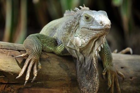 The green iguana ranges over a large geographic area, from southern Brazil and Paraguay to as far north as Mexico and the Caribbean Islands; and in the United States as feral populations in South Florida, Hawaii, and the Rio Grande Valley of Texas.