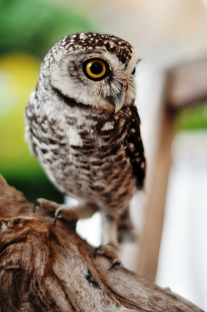 There are 13 recognized races of Little owl spread across Europe and Asia. The Little Owl was sacred to the goddess Athena, from whom it gets the generic name Stock Photo - 10393782